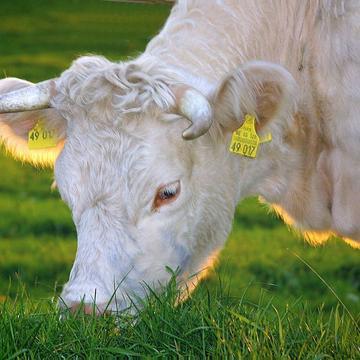 happy cows 263766